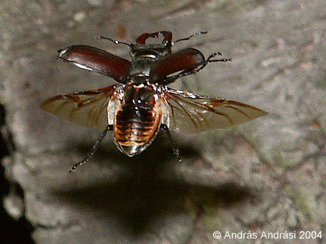 Flying stag beetles