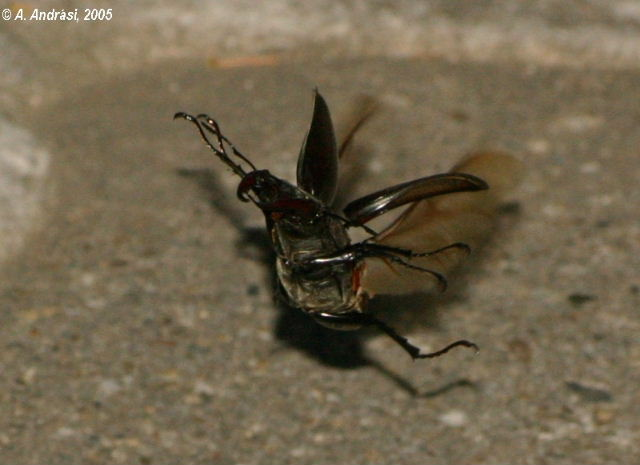 Stag beetle flying
