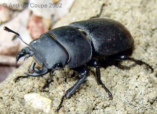 Male lesser stag beetle. Photo by Andrew Coupe, June 2002.