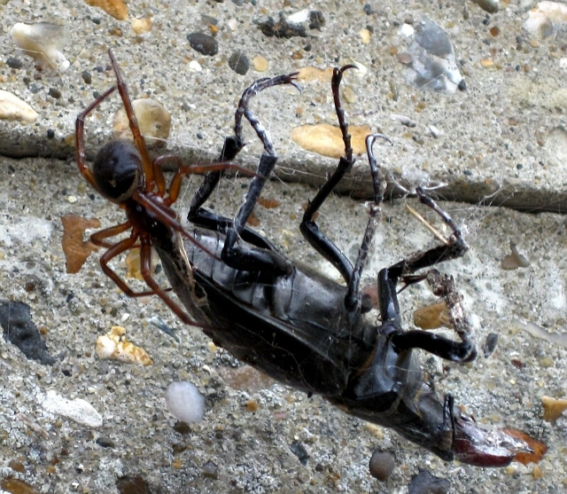 stag beetles and spiders
